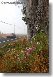 california, cars, eucalyptus, flowers, fog, mendocino, nature, plants, trees, vertical, west coast, western usa, photograph