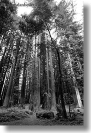 black and white, california, colors, forests, green, materials, mendocino, nature, perspective, plants, redwood trees, redwoods, tall, trees, upview, vertical, west coast, western usa, woods, photograph