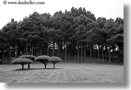 black and white, california, horizontal, mendocino, round, tops, trees, west coast, western usa, photograph