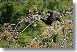 animals, california, gibbons, horizontal, oakland zoo, west coast, western usa, white handed, photograph