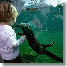 animals, boys, california, childrens, jacks, oakland zoo, otter, square format, toddlers, watching, water, west coast, western usa, photograph