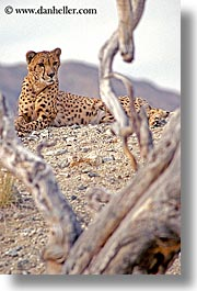 animals, california, cats, cheetah, mountains, nature, palm springs, vertical, west coast, western usa, photograph
