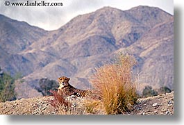 animals, california, cats, cheetah, horizontal, mountains, nature, palm springs, west coast, western usa, photograph