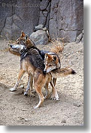 california, mexican, palm springs, vertical, west coast, western usa, wolves, photograph