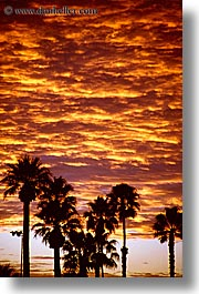california, palm springs, palm trees, sunrise, vertical, west coast, western usa, photograph
