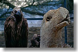 animals, birds, california, emotions, horizontal, humor, palm springs, stumps, vulture, west coast, western usa, photograph