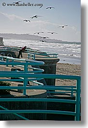 animals, beaches, birds, california, feeding, nature, ocean, pigeons, san diego, vertical, water, waves, west coast, western usa, photograph