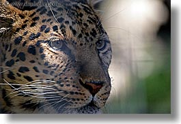 california, horizontal, leopard, san diego, west coast, western usa, zoo, photograph