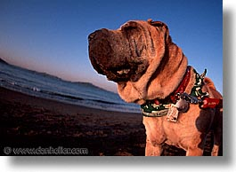 california, chinese, horizontal, pei, san francisco, shar, shar pei, west coast, western usa, photograph