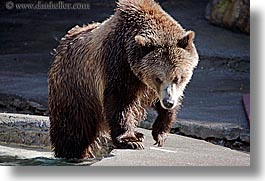 animals, bears, california, grizzly, horizontal, san francisco, west coast, western usa, zoo, photograph