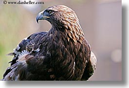 animals, birds, california, eagles, golden, horizontal, san francisco, west coast, western usa, zoo, photograph