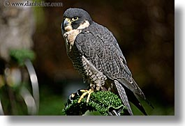 animals, birds, california, falcons, horizontal, peregrine, san francisco, west coast, western usa, zoo, photograph