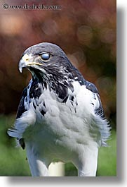 animals, augur, birds, buzzard, california, san francisco, vertical, west coast, western usa, zoo, photograph