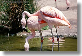 animals, birds, california, flamingo, horizontal, san francisco, west coast, western usa, zoo, photograph