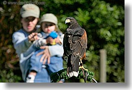 animals, birds, california, childrens, harris, hawk, horizontal, mothers, san francisco, west coast, western usa, womens, zoo, photograph