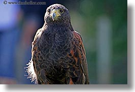 animals, birds, california, harris, hawk, horizontal, san francisco, west coast, western usa, zoo, photograph