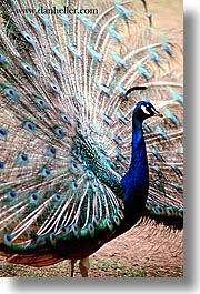 animals, birds, california, peacock, san francisco, vertical, west coast, western usa, zoo, photograph
