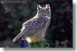 animals, birds, california, great, horizontal, horned, owls, san francisco, west coast, western usa, zoo, photograph