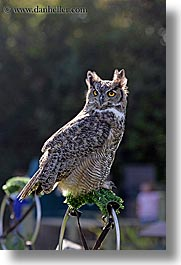 animals, birds, california, great, horned, owls, san francisco, vertical, west coast, western usa, zoo, photograph