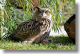 animals, birds, california, eared, horizontal, long, owls, san francisco, spotted, west coast, western usa, zoo, photograph