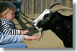 babies, boys, california, childrens zoo, goats, horizontal, jacks, san francisco, toddlers, west coast, western usa, zoo, photograph