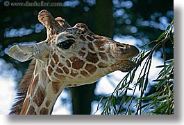 animals, california, giraffes, horizontal, san francisco, west coast, western usa, zoo, photograph