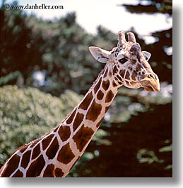 animals, california, giraffes, san francisco, square format, west coast, western usa, zoo, photograph