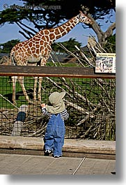animals, babies, california, giraffes, san francisco, toddlers, vertical, west coast, western usa, zoo, photograph