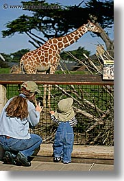 animals, babies, california, giraffes, mothers, san francisco, toddlers, vertical, west coast, western usa, zoo, photograph