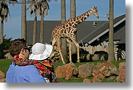 animals, babies, california, fathers, giraffes, horizontal, san francisco, toddlers, west coast, western usa, zoo, photograph