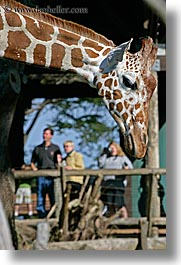 animals, california, giraffes, people, san francisco, vertical, west coast, western usa, zoo, photograph