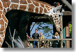 animals, california, giraffes, horizontal, people, san francisco, west coast, western usa, zoo, photograph