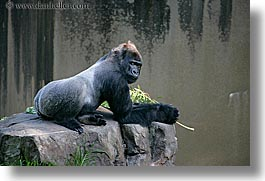 animals, california, gorilla, horizontal, lowland, primates, san francisco, west coast, western usa, zoo, photograph