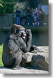 animals, california, gorilla, lowland, primates, san francisco, vertical, west coast, western usa, zoo, photograph