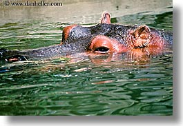 animals, california, hippopotamus, horizontal, san francisco, west coast, western usa, zoo, photograph