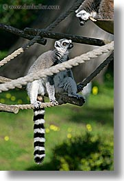 animals, california, lemurs, san francisco, vertical, west coast, western usa, zoo, photograph