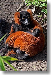animals, california, lemurs, red, ruffed, san francisco, vertical, west coast, western usa, zoo, photograph