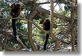 animals, california, horizontal, lemurs, red, ruffed, san francisco, west coast, western usa, zoo, photograph
