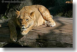 animals, california, cats, horizontal, lions, san francisco, west coast, western usa, zoo, photograph