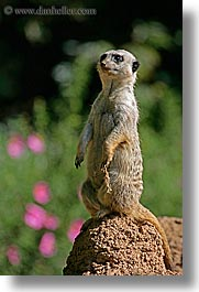 animals, california, meerkat, san francisco, vertical, west coast, western usa, zoo, photograph