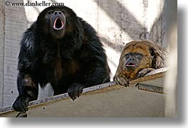 animals, california, horizontal, howler, howler monkeys, monkeys, primates, san francisco, west coast, western usa, zoo, photograph