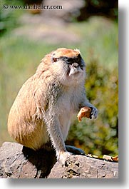 animals, california, monkeys, patas, primates, san francisco, vertical, west coast, western usa, zoo, photograph