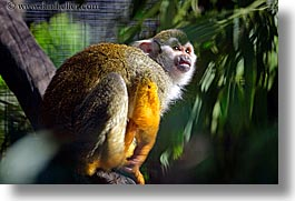 animals, california, horizontal, monkeys, primates, san francisco, squirrel, west coast, western usa, zoo, photograph