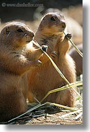animals, california, prairie, prairie dogs, san francisco, vertical, west coast, western usa, zoo, photograph