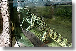 animals, broad nosed, caiman, california, horizontal, reptiles, san francisco, west coast, western usa, zoo, photograph