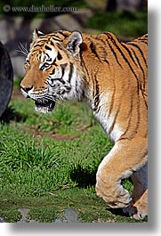 animals, california, cats, san francisco, siberian, tigers, vertical, west coast, western usa, zoo, photograph