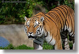 animals, california, cats, horizontal, san francisco, siberian, tigers, west coast, western usa, zoo, photograph