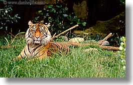 animals, california, cats, horizontal, san francisco, sumatran, tigers, west coast, western usa, zoo, photograph