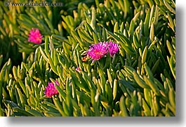 california, colors, flowers, green, horizontal, ice plants, pink, santa barbara, west coast, western usa, photograph