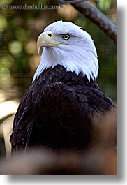 american, animals, bald, bald eagle, birds, black, california, colors, eagles, santa barbara, vertical, west coast, western usa, white, zoo, photograph